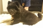 Picture of Akc chow puppy
