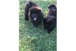Picture of Black male chow puppy