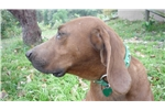 Picture of CHAMP. BLOODLINE OZARK MOUNTAIN REDBONE COONHOUND