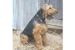 Featured Breeder of Welsh Terriers with Puppies For Sale