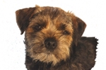 Featured Breeder of Border Terriers with Puppies For Sale