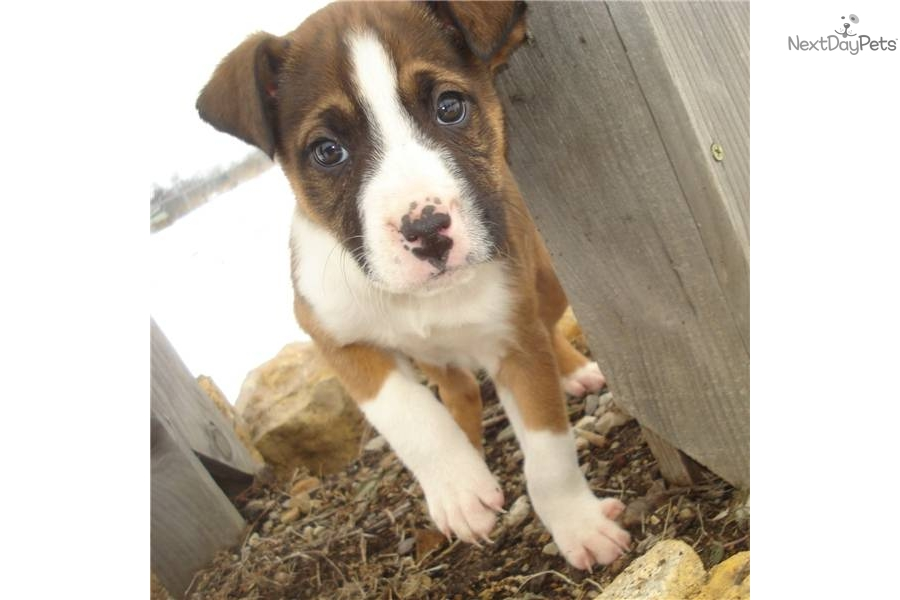 Boxer Dog For Sale In Las Vegas
