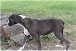 Picture of AKC white male-1/2 European- $600  from SE Kansas