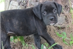 Picture of AKC Beautiful Reverse Brindle female