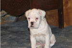 Picture of AKC Beautiful White Male 1/2 European  CH Lines