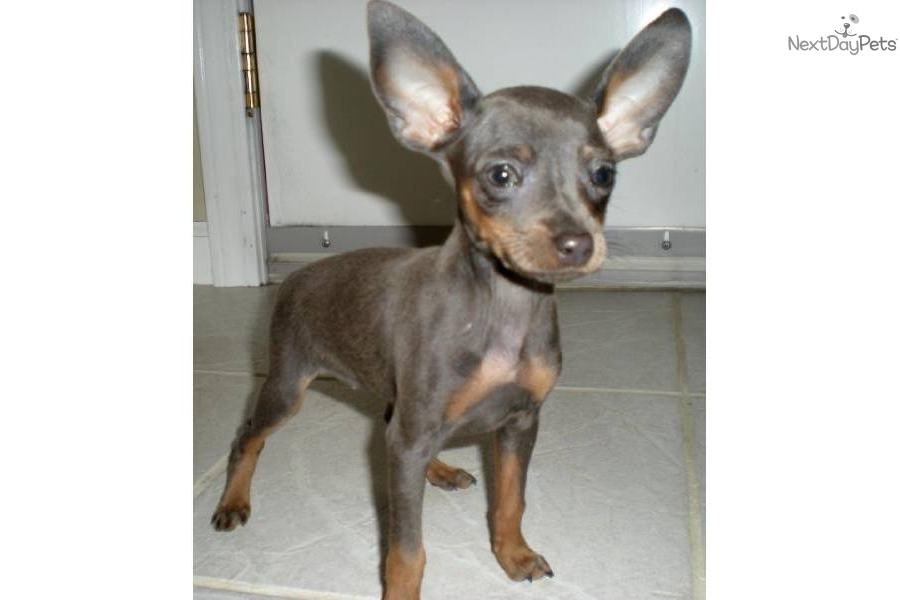 Min Pin Dogs For Sale In Missouri