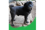 Picture of PUG....