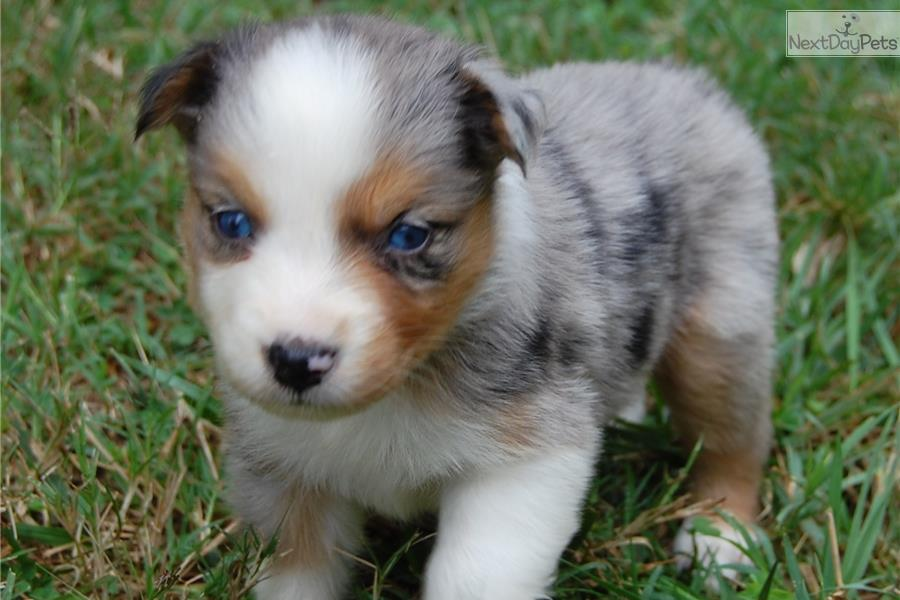 Australian shepherd puppy for sale near raleigh durham ch north