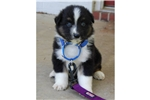 Picture of an Australian Shepherd Puppy