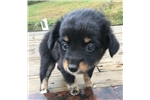 Picture of Registered girl miniature Aussie-DORY