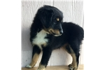 Picture of REGISTERED BLACK TRI GIRL--Mini Aussie-CRICKET