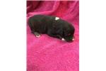Picture of PRETTY BLACK Tri GIRL--Mini Aussie-CrIcket