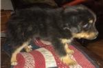 Picture of Reg. Mini Australian  Shepherd-BlACK TRI -JUNIOR