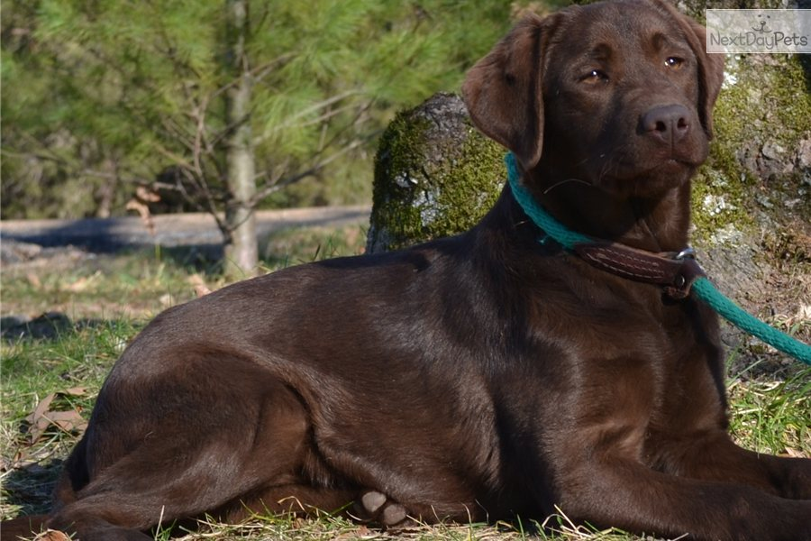 Dark Chocolate Labrador Breeders