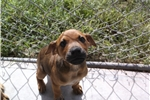 Picture of Brown Betty Black Mouth Cur