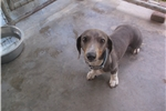 Picture of Gracy dachshund