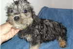 Picture of a Dandie Dinmont Terrier Puppy