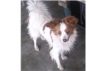 Picture of Pretty Girl Papillion
