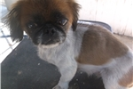 Picture of Cookie the peke