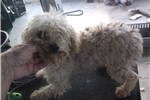 Picture of Chloe poodle