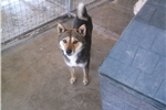 Picture of Thunder, shiba
