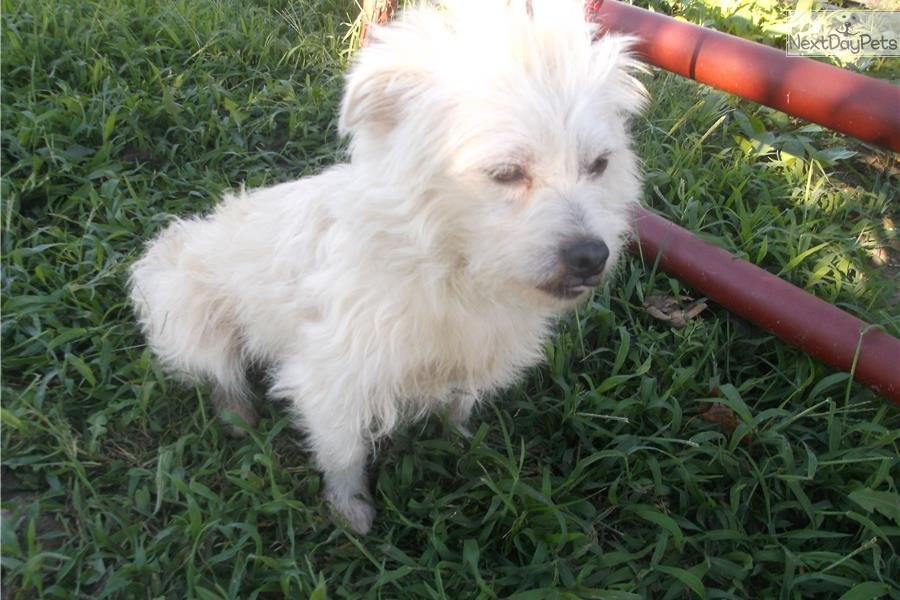 Westiepoo Puppy For Adoption Near Springfield Missouri