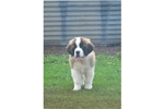 Picture of a Saint Bernard - St. Bernard Puppy