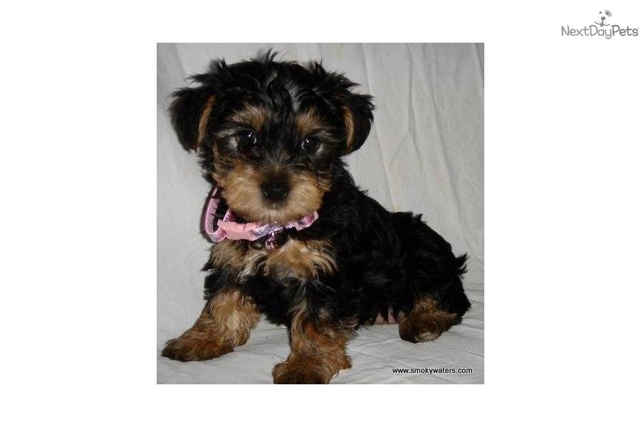 Free Female Yorkie Puppies