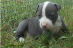 American Staffordshire Terrier for sale