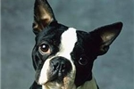 Featured Breeder of Boston Terriers with Puppies For Sale