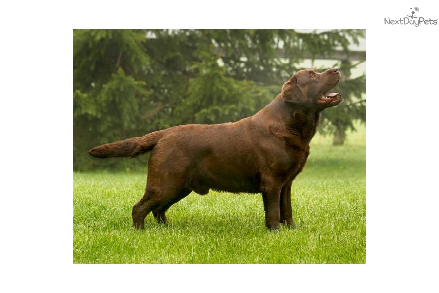 Dog Ready For Adoption Chocolate Labrador Retriever Pit Bull Dog | Dog ...