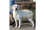 Picture of CH Sired Cream Male EIC-PRA Clear