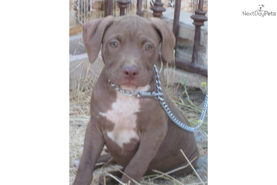 Red Nose American Pit Bull Terrier