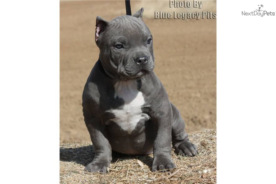 Hot pocket sold sold www bluelegacypits com american pit bull