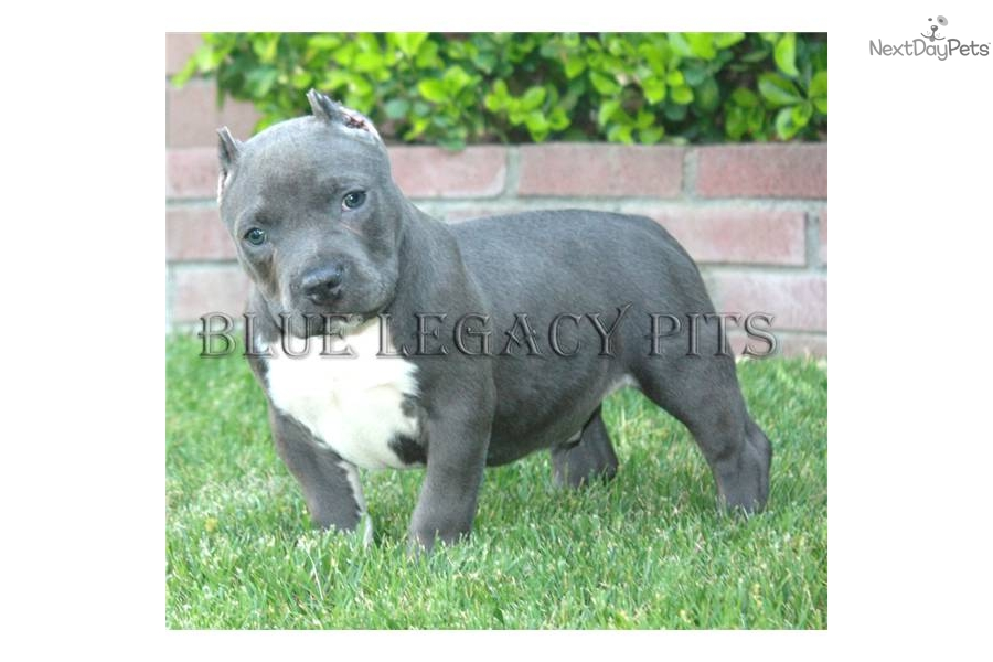 Tri Blue Pitbull Puppies For Sale In California Dog Breeds Picture ...