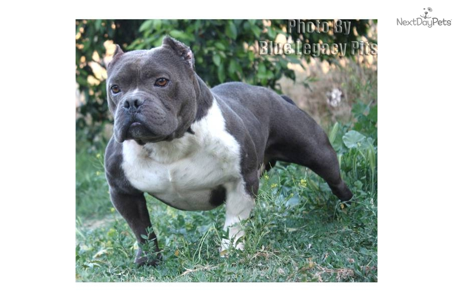 american pocket bully puppies