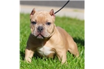 American Bully for sale