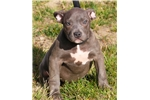 Picture of CHARMER FEMALE ~~ XL LARGE BULLY ~~~ ONLY $1500