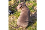 Picture of BUDDY MALE ~~ XL LARGE BULLY ~~~ ONLY $1500