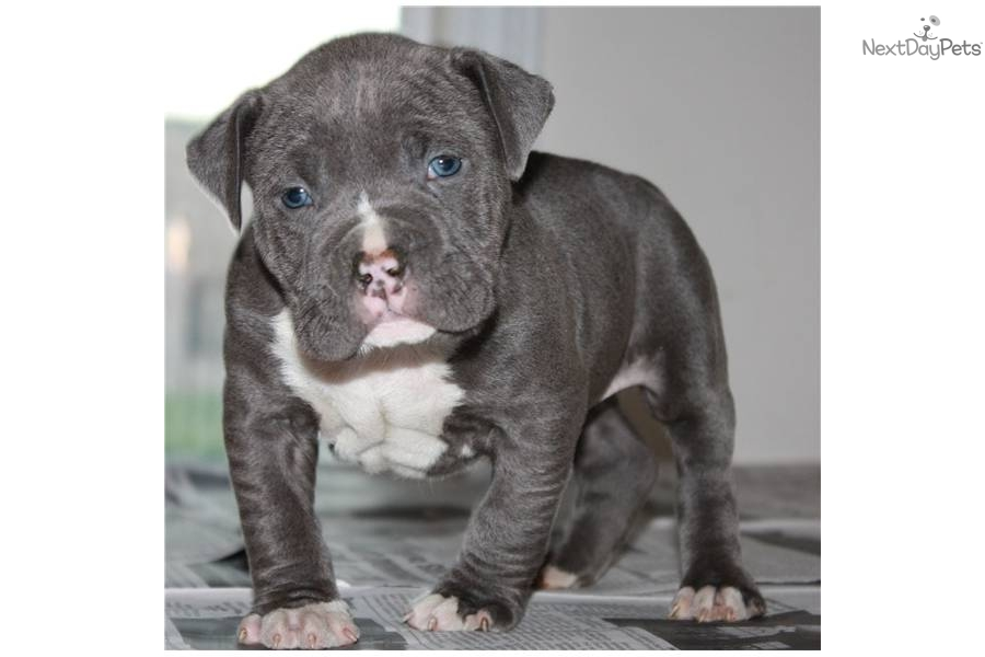 Bully Pr Ukc And Adba Pitbull Puppies Blue Gray Sugar Land Picture