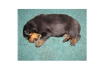 Picture of a Rottweiler Puppy