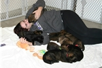 Picture of Nat. Champion Line Working GSD Puppy -  Sport, Pet