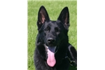Picture of Champion Working Lines for Sport, Police, or Pet