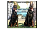 Featured Breeder of Doberman Pinschers with Puppies For Sale