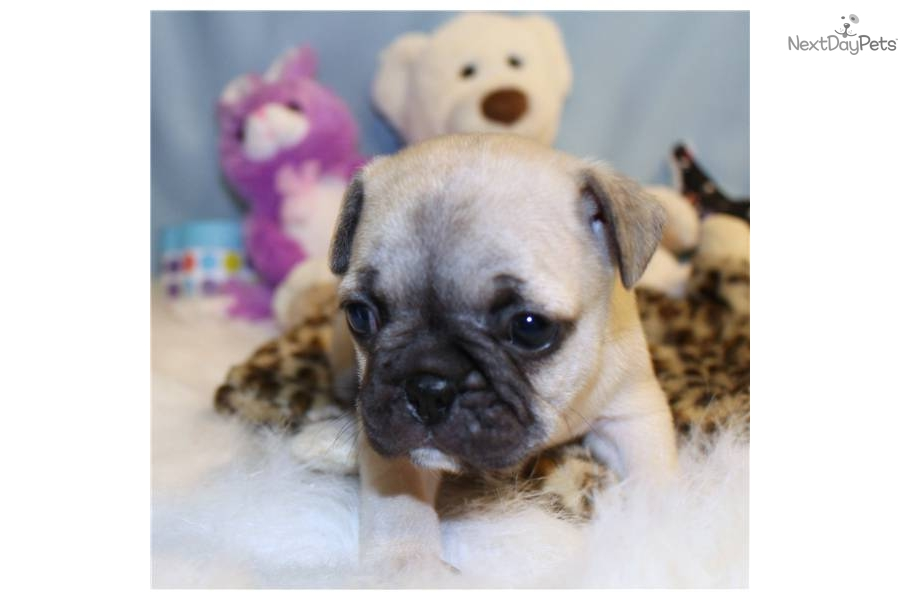 frederick-male-frug-french-bulldogpug-crossdog-french-bulldog-puppy
