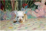 Picture of COOKIE - SWEET BABY BOY - AKC