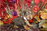 Picture of DINKI - ENCHANTING BABY GIRL - AKC