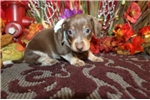 Picture of DIMPLE - LOVES TO PLAY - AKC REGISTERED