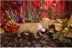 Picture of DIXIE - PRECIOUS BABY GIRL  -  AKC