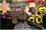 Picture of DIAMOND - ENCHANTING BABY GIRL - AKC REGISTERED